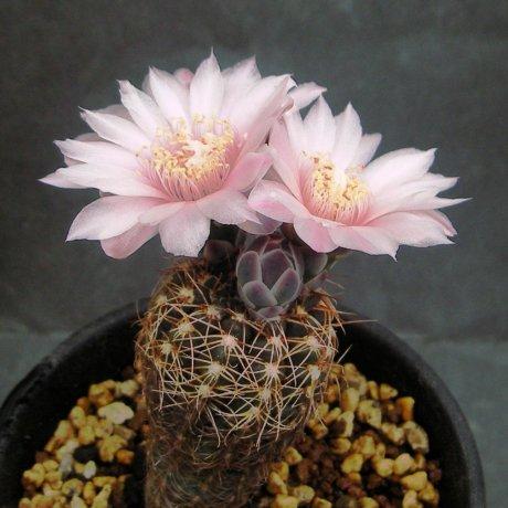 Sany0061--carolinense ssp ludwigii--LB 1423--Sierra de Poltezuela 7km W of --ex Eden