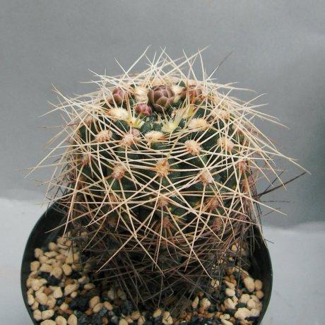 Sany0145--carolinense ssp Ludwigii v eltrevolense--JPR 103-248--Bercht seed 3181 (2013)