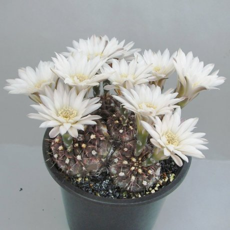 180420--Sany0144a--taningaense--P 22--Mesa seed 490.37