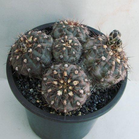 180504--Sany0163--taningaense--P 212--Mesa seed 490.37