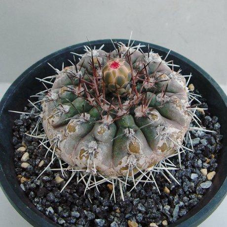 Sany0094--glaucum--Mesa seed 468.3