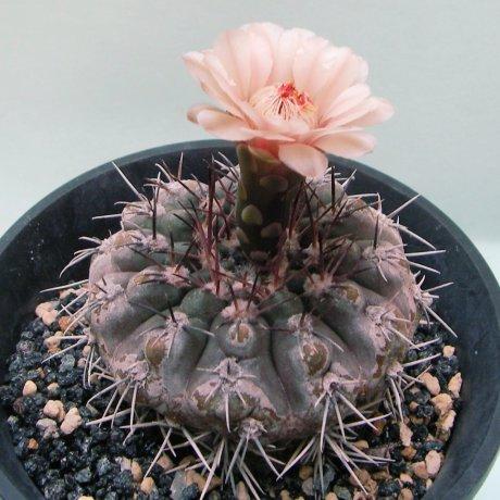 Sany0082-glaucum--Mesa seed 468.3