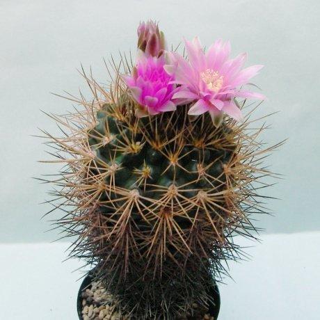 18514a--Sany0012--neuhuberi--Sucseed seed 366