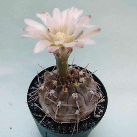 Sany0013--borthii ssp nogolense--NW of San Antonio R 147 SL 794m--ex Eden IB18598