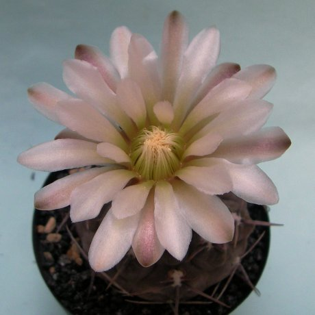 Sany0016--borthii ssp nogolense--VoS 188--ex Eden