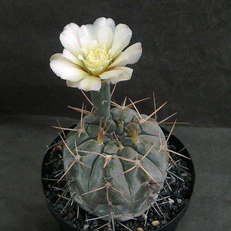 Sany0071--borthii ssp nogolense--Tom 07-219.1--ex Milena