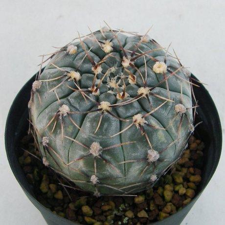Sany0108--borthii ssp nogolense--Tom 07-219-1--ex Milena