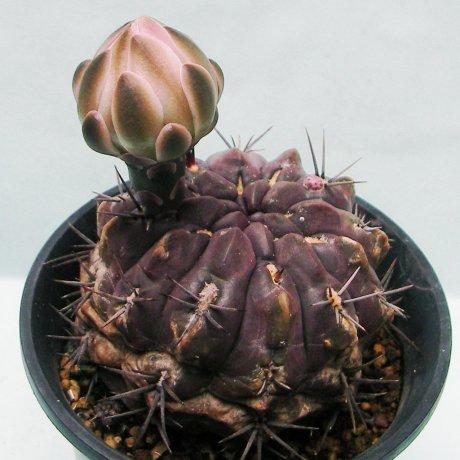 Sany0182--gibbosum v chubutense--JPR 40-93--Peninsula Valdes--Salinas Grande Chubut 0m--ex Eden IB 20004