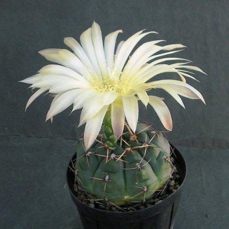 Sany0136--uruguayense v melanocarpum--LB 2700--Bercht seed 3110 (2010)