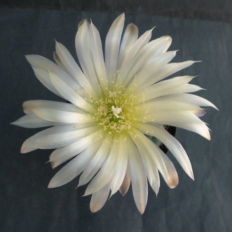 Sany0134--uruguayense v melanocarpum--LB 2700--Bercht seed 3110 (2010)