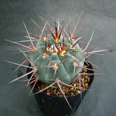 180607--Sany0027--armatum--VoS 074--Paichu Centro--Bercht seed 2358 (2014)