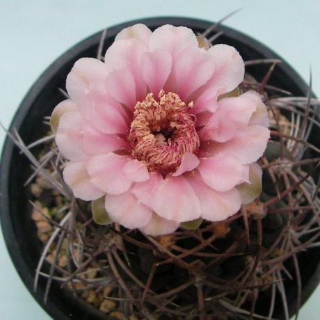 180523--Sany0178-riojense ssp kozelskyanum v mirandaense--guanchinense mirandaense-- VS 35 --Cuesta Milanda LR--ex Eden 14444--