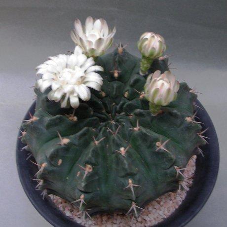 180613--Sany0081--rotundicarpum--Piltz seed 3293