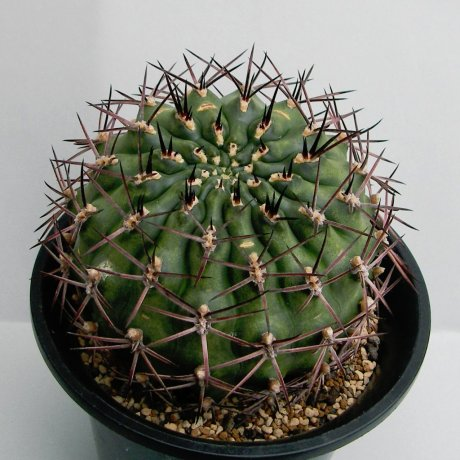 180614--Sany0130--schickendantzii v pectinatum--P 17A--Sierra de Velasco--Piltz seed 4188