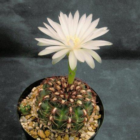 100522-Sany0121-mesopotamicum-P241-Piltz seed