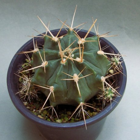 180625--Sany0084--griseopallidum--Chaco Bolivia--Piltz seed 2178(2011)