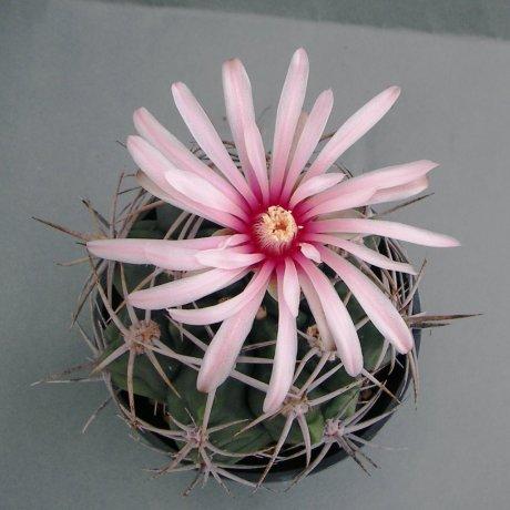 180628--Sany0133--mostii v kurtzianum--Sra de Oro--Piltz seed 2619 (2003)