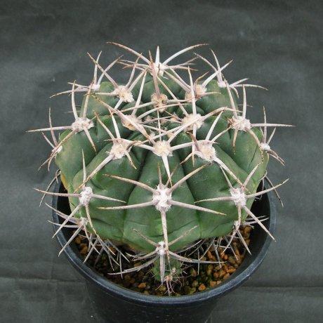 160307--Sany0180--mostii v kurtzianum--P 84--Succseed seed 448(2002)