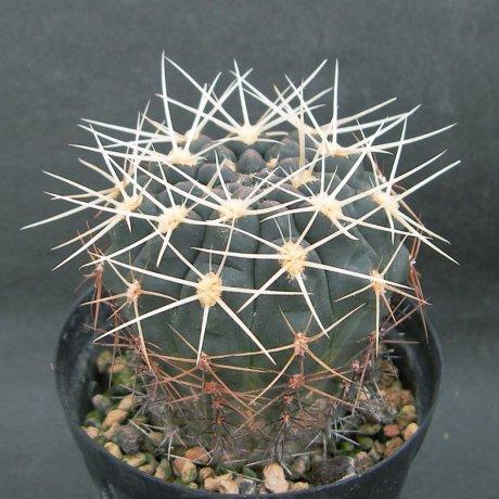 180628--Sany0120--gibbosum ssp ferox--JPR 054-121--Bercht seed 3084 (2014)