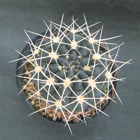 180628--Sany0121--gibbosum ssp ferox--Bercht seed 3084 (2014)