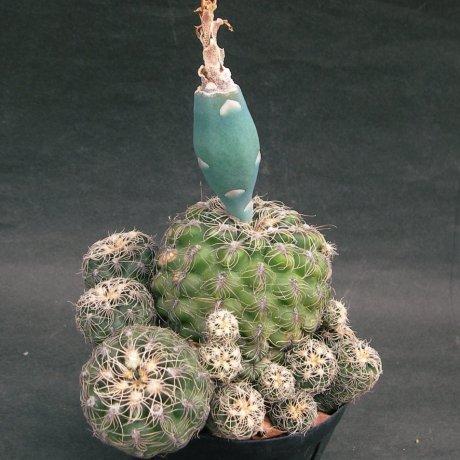 Sany0162--calochlorum--JPR 108-258--Mesa seed 459.2--ex Kousen en