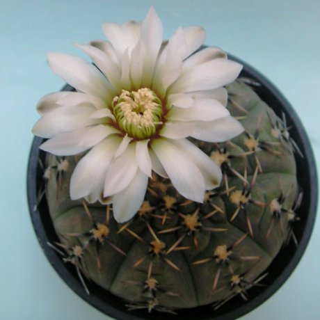 180601--Sany0176--platygonum--STO 474--Mesa seed