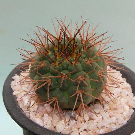 180710--Sany0091--riojense ssp vertongenii--HV 1438--Bercht seed