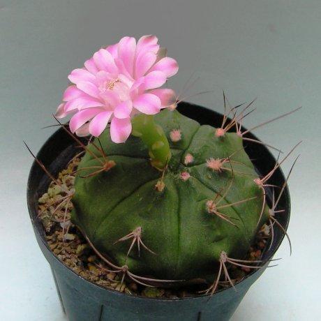 180720--Sany0009--damsii ssp evae v boosii--VoS 08-321--VoS seed