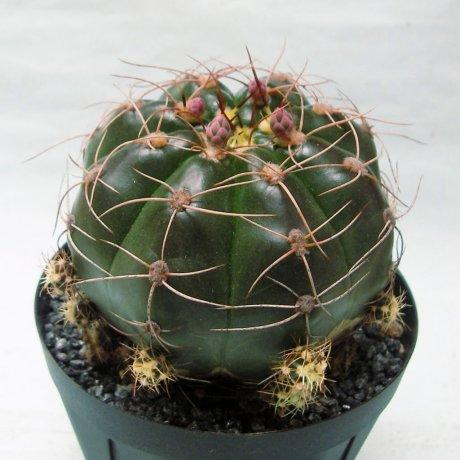 180409--Sany0116--fleischerianum--HU 304--Piltz seed 1060(2009)