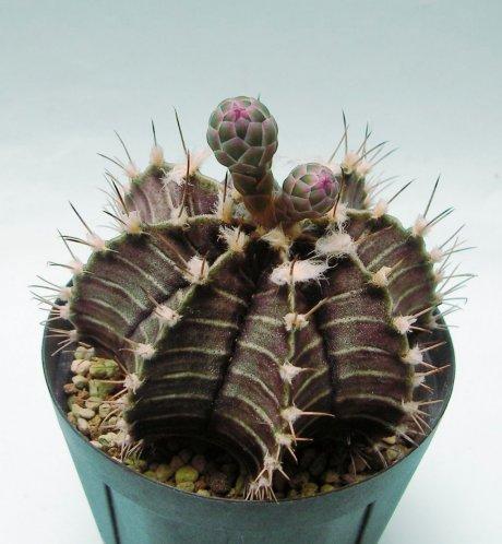 180528a--Sany0081--friedrichii--VoS 17a--north of Americo Pico Boqueron 195m Paraguay--VoS seed