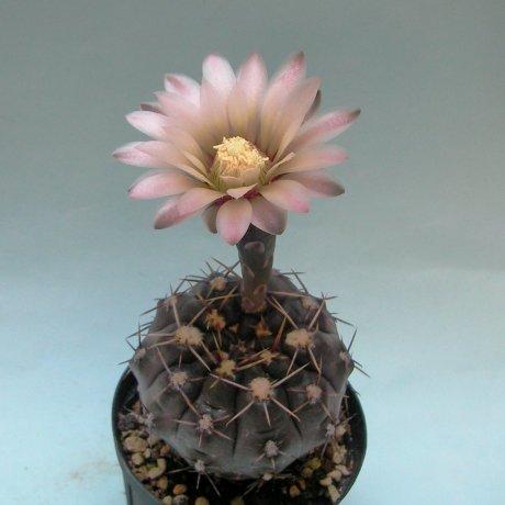 180604--Sany0093--striglianum v otmarii--JPR 80-180--Mesa seed 490.298 (2011)