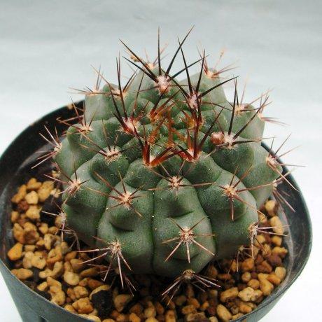 180412--Sany0172-striglianum ssp aeneum--GN 120-893--La Cafera 800m--Bercht seed 3837 (2016)