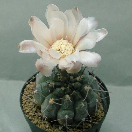 180520--Sany0050--striglianum ssp aeneum-GN 120-893--La Cafera SL 800m--Bercht see 4217(2014)-