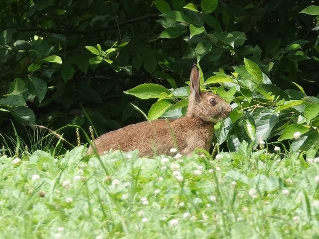 ノウサギ:クリックして大きな画像でご覧ください