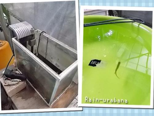 アカヒレさんの水槽大掃除!
