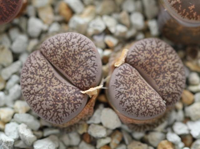 リトープス・C151グレー紫勲