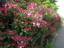 フェンスのお花