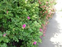 ここのフェンスのお花はハマナス