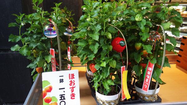 ほおずき 1鉢1500円
