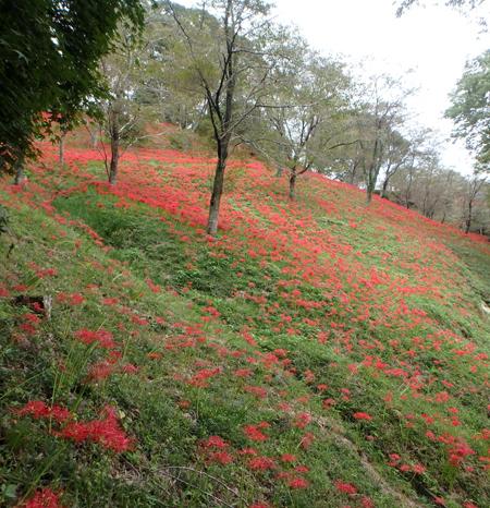 30_10_2 ヒガンバナ 茂木の城山公園 2