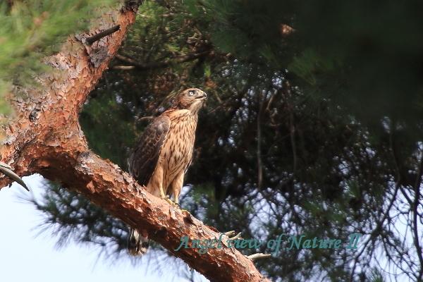 オオタカ(幼鳥)1807037720①