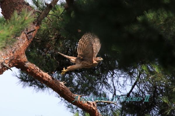 オオタカ(幼鳥)1807037749①