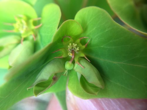 ナツトウダイの花アップ