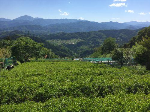 お茶畑と大室山