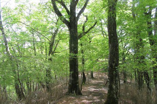 ブナ巨木が多い
