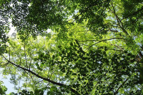 渓畔林の新緑