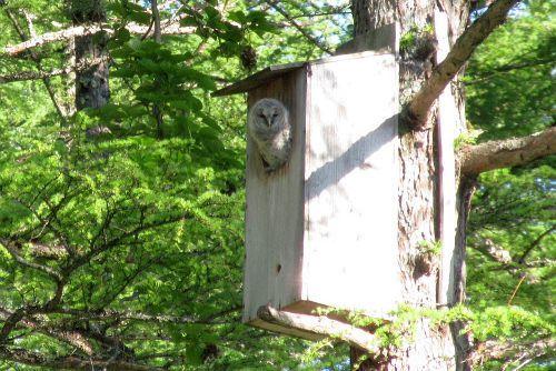 巣箱のフクロウ雛