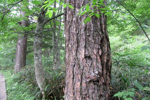 カラマツ巨木林