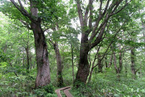 ミズナラ巨木林
