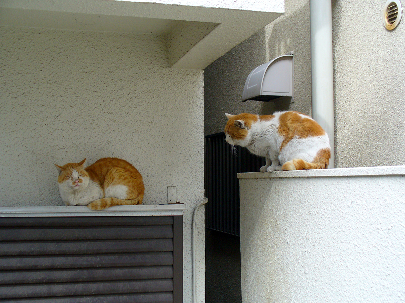 茶白猫兄弟1